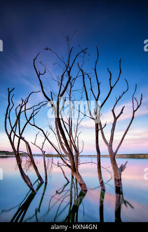 Partially submerged tree due to rising water levels, Amistad reservoir, Texas - Stock Photo