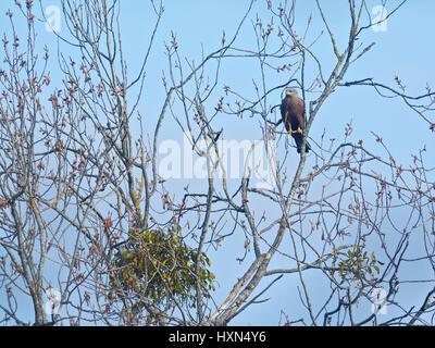 Male marsh harrier (Circus aeruginosus) - Stock Photo