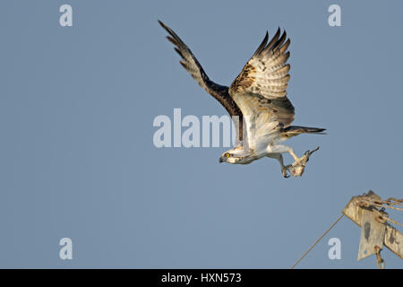 Osprey Pandion haliaetus adult in flight Yellowstone River