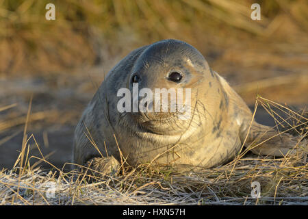 Atlantic grey seal (Halichoerus grypus) pup. Donna Nook, Lincolnshire. UK. January. - Stock Photo