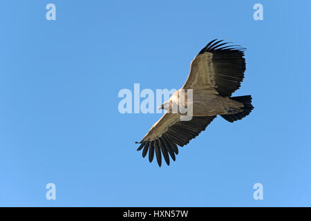 Eurasian griffon vulture (Gyps fulvus) adult in flight. Gamla, Golan Heights, Israel. January 2015. - Stock Photo