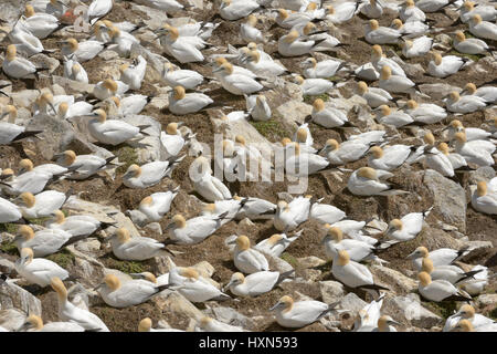 Nesting colony of northern gannets (Morus bassanus). Great Saltee island, co Wexford, Ireland. April. - Stock Photo