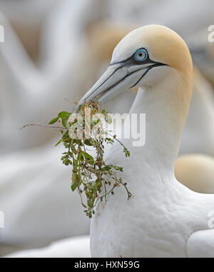 Northern gannet (Morus bassanus) adult with nest material at breeding colony. Great Saltee island, co Wexford, Ireland. - Stock Photo