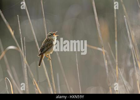 Sedge warbler (Acrocephalus schoenobaenus) singing in reedbed. Norfolk, England. May. - Stock Photo
