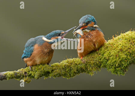 Common kingfisher (Alcedo atthis) adult male feeding minnow to recently fledged juvenile. Worcestershire, England. - Stock Photo