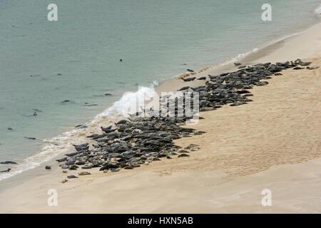 Atlantic grey seals (Halichoerus grypus) hauled out on beach on the isle of Mingulay, Western Isles, Scotland. June. - Stock Photo