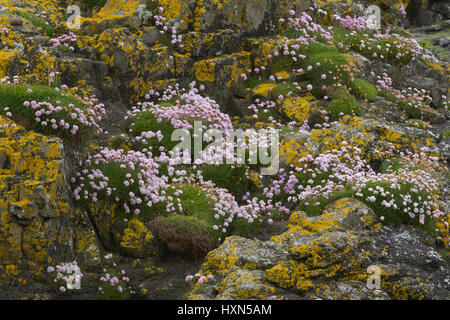 Thrift or sea pink (Armeria maritima) in flower among yellow lichens on seashore, on the isle of Lunga, Treshnish - Stock Photo