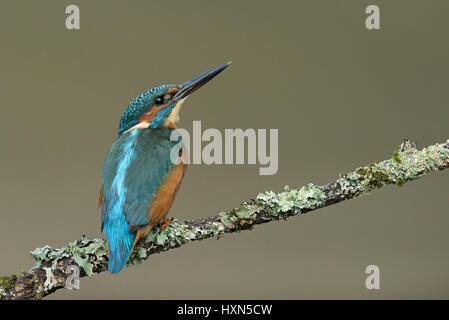 Common kingfisher (Alcedo atthis) adult female. Worcestershire, England. September. - Stock Photo