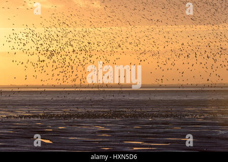 Flock of red knot (Calidris canutus) landing on foreshore in pre-roost gathering, at Snetttisham RSPB reserve, Norfolk, - Stock Photo
