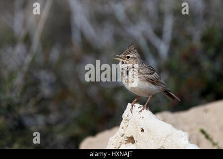 Crested Lark (Galerida cristata) singing on a rock, Cape Drepano, Cyprus. - Stock Photo