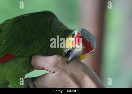 Parrot biting an arm - Stock Photo