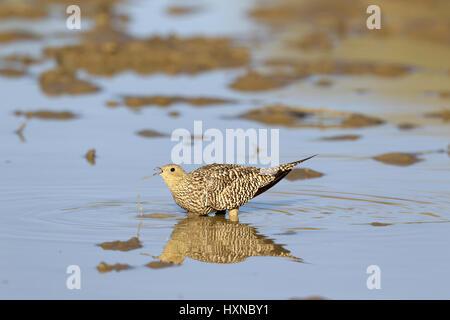 Namaqua Sandgrouse female drinking - Stock Photo