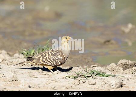Namaqua Sandgrouse male - Stock Photo