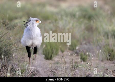 Secretarybird - Stock Photo