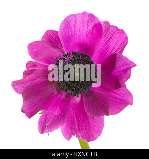 Macro of an isolated purple anemone flower blossom - Stock Photo
