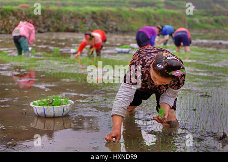 GUIZHOU, CHINA - APRIL 18:  Spring planting rice in Guizhou Province, April 18, 2010. Chinese woman stands knee - Stock Photo