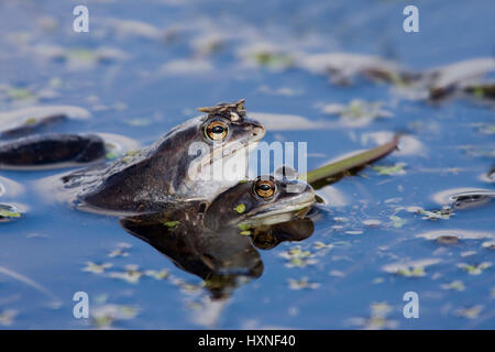 Moor frog with the mating - moor Frog, Moorfrosch bei der Paarung - Moor Frog - Stock Photo