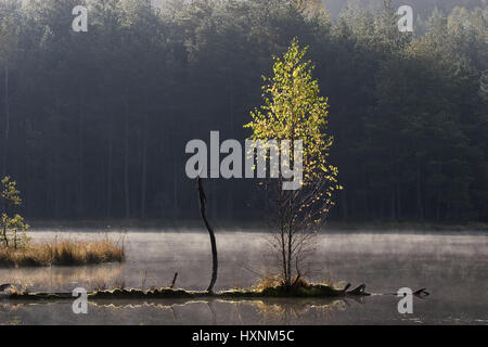 A birch grows from a trunk fallen in the water. Masuria Poland, Eine Birke wächst aus einem ins Wasser gefallenen - Stock Photo