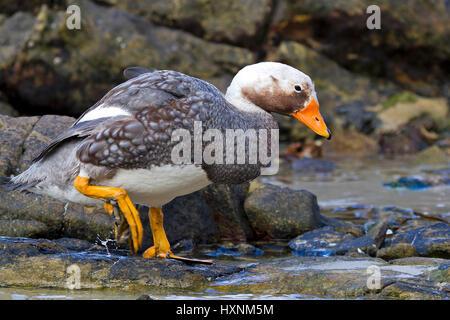 Falkland steamboat duck little man on Carcass Iceland, Falkland Dampfschiffente  Männchen auf Carcass Island - Stock Photo