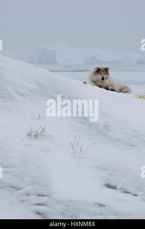 A husky in Ilulissat Greenland - Stock Photo