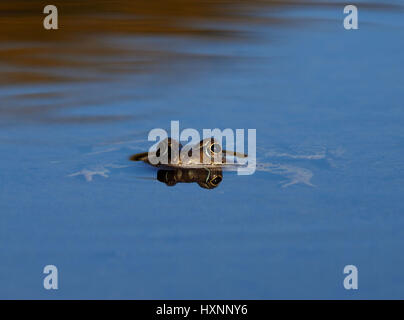 Frog in still pool reflecting blue sky - Stock Photo