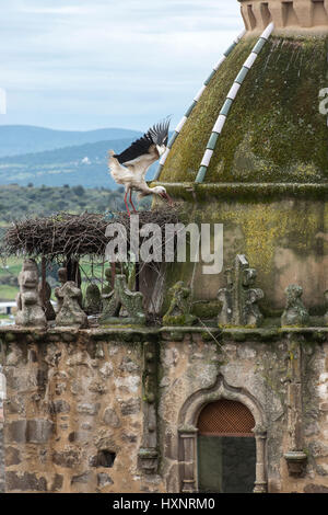 White Stork: Ciconia ciconia. Extremadura, Spain - Stock Photo