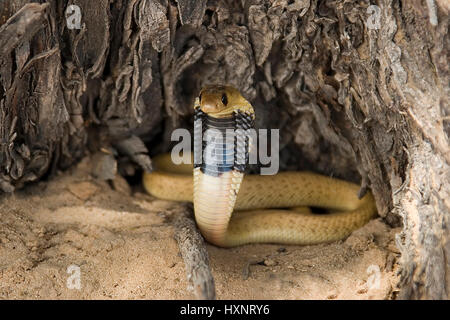 Cape cobra, cape Cobra - Well, nivea , Kapkobra | Cape Cobra - Naja nivea   Junge Kapkobra in Abwehrstellung  Kalahari - Stock Photo