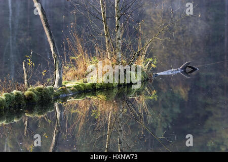 Reflexion of a birch, that grows from a trunk fallen in the water. Masuria Poland, Spiegelbild von einer Birke,die - Stock Photo