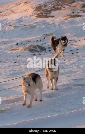 Working husky dogs in Ilulissat Greenland - Stock Photo