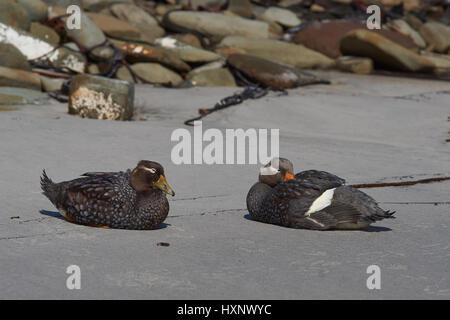 Pair of Falkland Steamer Ducks (Tachyeres brachypterus) on a sandy beach on Sealion Island in the Falkland Islands. - Stock Photo