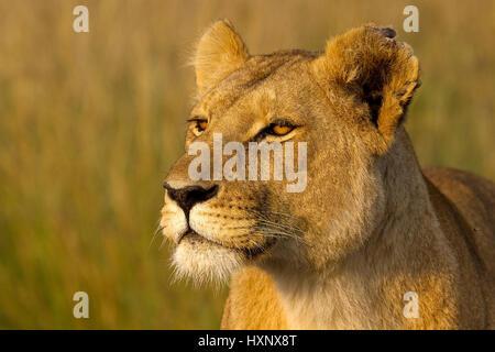 Lioness has picked up the scent of passing gnus, Löwin hat die Witterung vorbeiziehender Gnus aufgenommen - Stock Photo