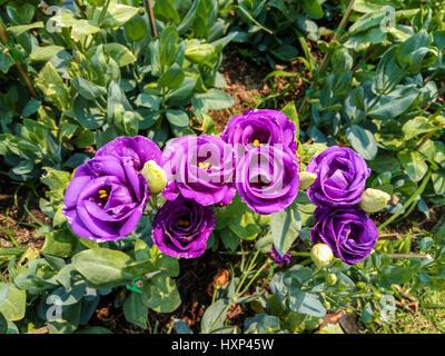 Closeup to Beautiful Purple Lisianthus/ Tulip Gentian/ Texas Blue Bell/ Eustoma Grandiflorum (L.) Cass/ Gentianaceae - Stock Photo
