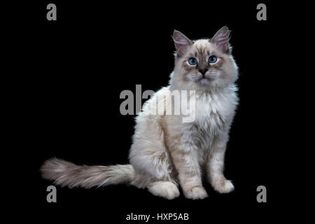 funny little blue-eyed white cat, isolated on black - Stock Photo