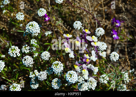 California wilflowers - Stock Photo