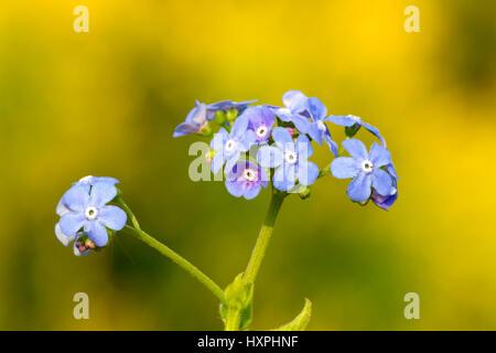 Caucasus forget-me-not, Brunnera macrophylla blue, Kaukasusvergissmeinnicht,Brunnera macrophylla blau - Stock Photo