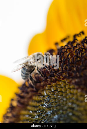 Extreme close-up of bee / honeybee (Apis mellifera) insect collecting pollen of a sunflower - Stock Photo