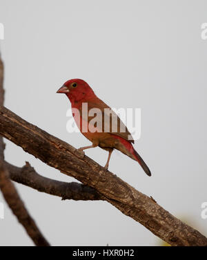 Red-billed firefinch, Lagonosticta senegala, single bird on branch, Gambia, February 2016 - Stock Photo
