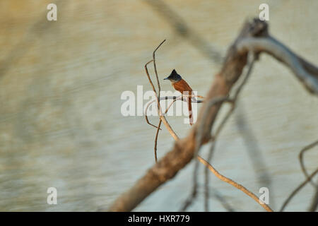 An Asian Paradise-flycatcher or Terpsiphone paradisi (Female) in the reserved forest - Stock Photo