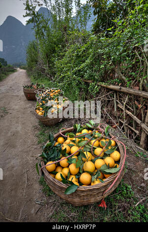 Yangshuo, Guangxi, China - March 29, 2010: Wicker basket filled with freshly harvested harvest fresh ripe oranges - Stock Photo