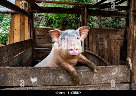 One filthy hog in manure,  dirty pig hanging on a fence. - Stock Photo