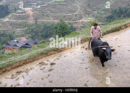 Zhaoxing Dong Village, Guizhou Province, China -  April 9, 2010: farmer plowing his flooded rice paddy with bull. - Stock Photo