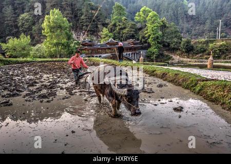Langde Village, Guizhou, China - April 15, 2010: Asian farmer plows the soil, using the power of the buffalo, Langde - Stock Photo