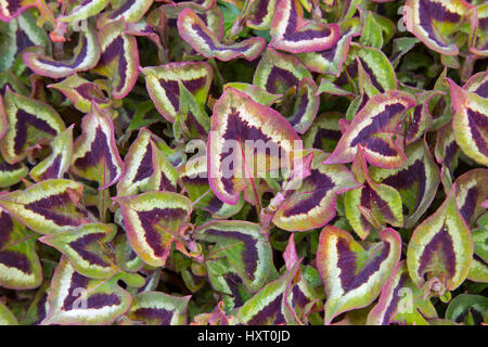 Persicaria runcinata 'Purple Fantasy' growing in border - Stock Photo
