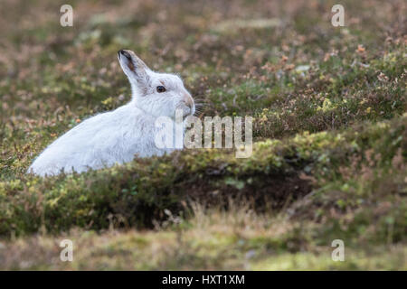Close up of Mountain Hare (Lepus timidus) in winter white coat in heather - Stock Photo