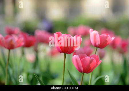 London, UK. 30th Mar, 2017. UK weather: tulips are in flower in the sunshine in St Luke's Gardens in Chelsea as - Stock Photo