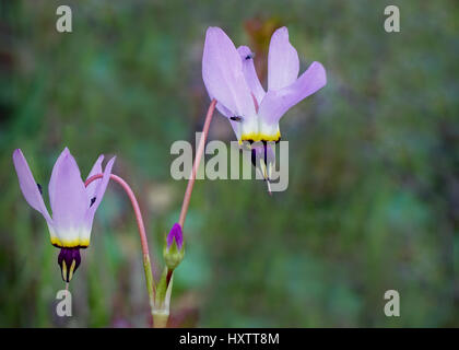 Beautiful pink shooting stars (Dodecatheon) in nature in California, with some flies on them. Shooting stars are - Stock Photo