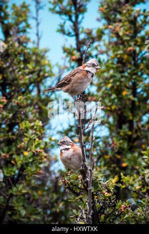 Two birds rest on a tree in front of the Perito Moreno Glacier in El Calafate, Argentina. - Stock Photo