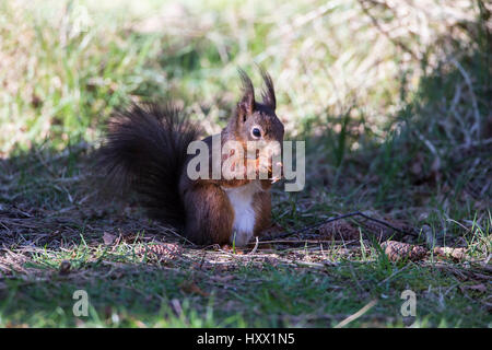 Red Squirrel in Anglesey, North Wales - Stock Photo