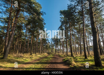 Sun shining through the trees in a Scottish forest casting shadows on a woodland path - Stock Photo