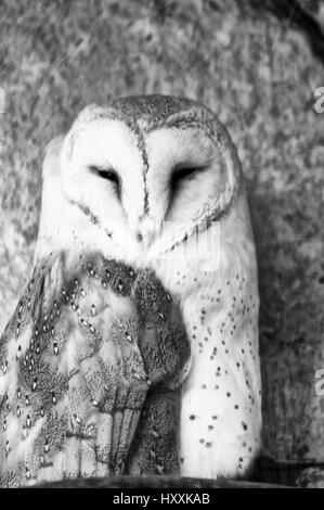 Photo head owl (Tyto alba), bird photo, animals image, - Stock Photo
